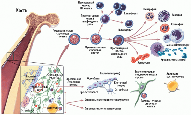 Гемопоэтические клеточные элементы