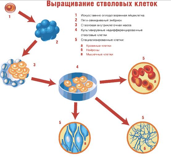Применение стволовых клеток в медицине