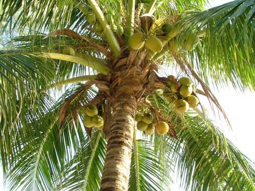 Kokosovaja_palma