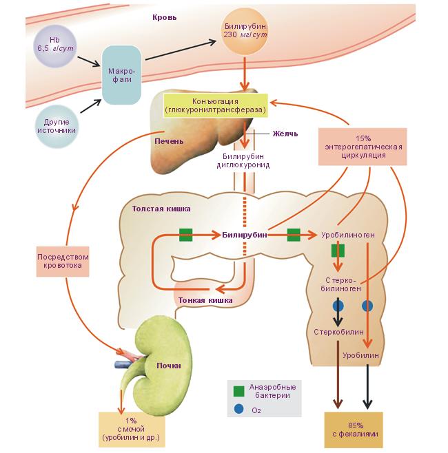 Process obmen bilirubina
