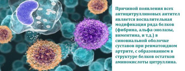 accp-antitela-k-ciklicheskomu-cirullinovomu-peptidu 6