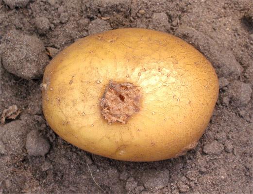 Стрептомикоз картофеля.