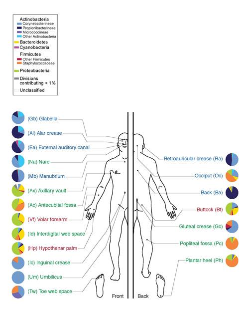 Микрофлора кожи человека. Тип Актинобактерии обозначены оттенками синего, класс Актиномицеты – ярко-голубым.