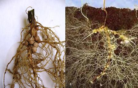 корни бобовых растений