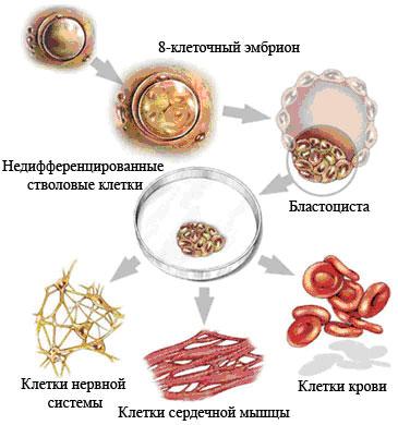Разновидности стволовых клеток