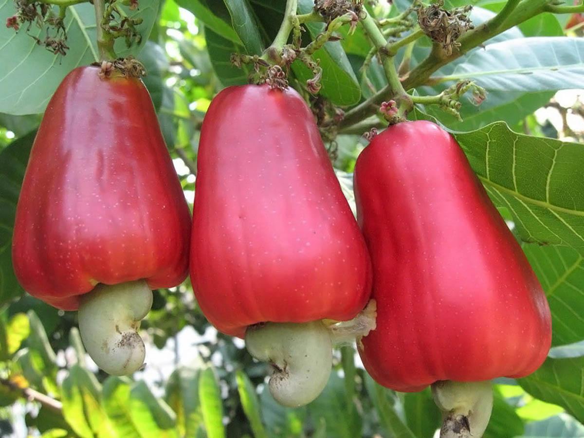 Корисні властивості горіха кешью для чоловіків