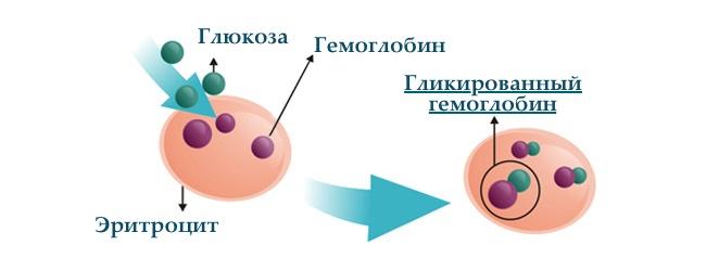 glikirovannyj-gemoglobin-v-krovi