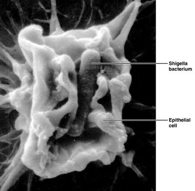 шигелла в складках слизистой оболочки