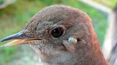 энцефалитные клещи на птицах