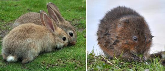бактерии туляремии чаще всего поражают зайцев, кроликов, хомяков, водяных крыс и мышей полевок