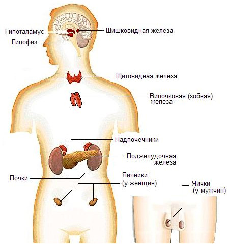 Нейроэндокринная система