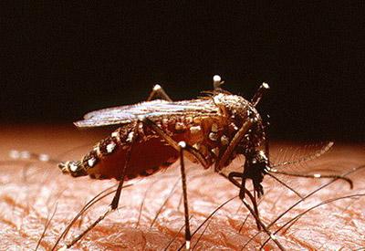 комар Aedes aegypti - переносчиком лихорадки