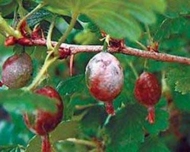 поражение ягод плесенью
