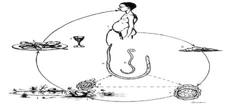 пути-заражения-аскаридозом
