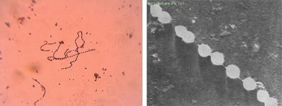 бактерии стрептококки