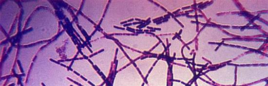 бактерии палочковидной формы