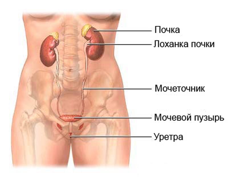 З якого боку знаходяться нирки у людини
