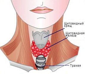 Нормальная щитовидная железа