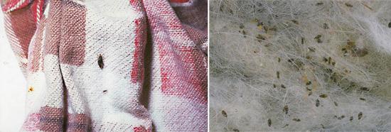 бельевые вши на одежде (фото)