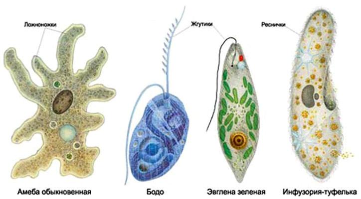 Отдельные представители одноклеточных эукариот (простейших).