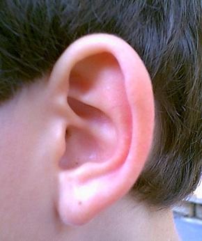 Из чего состоит ухо
