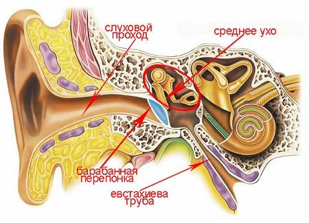 Схема строения уха человека