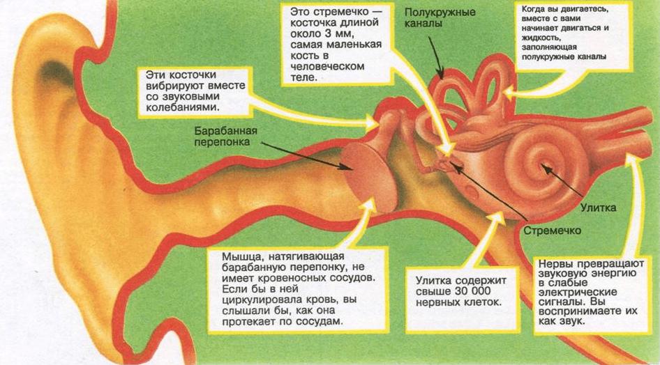 Строение среднего и внутреннего уха