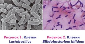 lactobacillus и Bifidobacterium bifidum