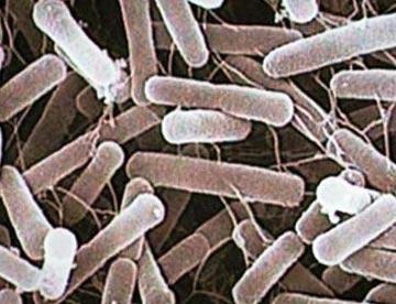 гнилостные бактерии